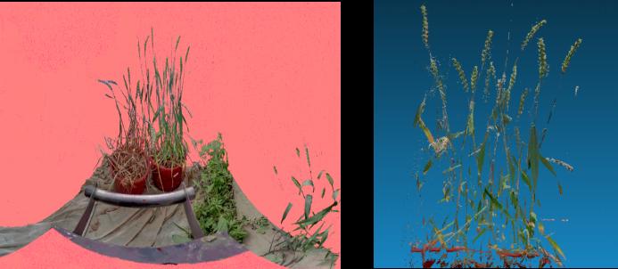 三維激光掃描儀在農林業中的應用,三維激光掃描儀在農林業保護中的應用,樣品單株小麥展示